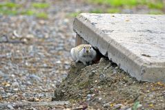 The gopher made a dwelling under a concrete slab Stock Photography