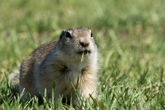 Gopher mangeant l'herbe Photo stock