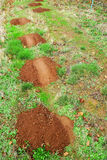 Gopher mole mounds. Hills on green grass stock images