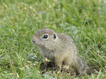 Gopher in the nature Royalty Free Stock Image