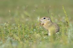 Gopher in the nature Stock Photography