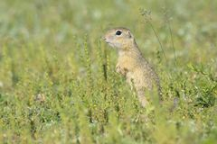 Gopher in the nature Royalty Free Stock Images