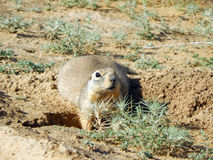 Gopher near the burrows. Stock Images