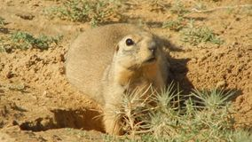 Gopher near the burrows. stock video footage
