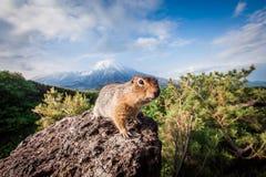 Gopher op de achtergrond van de vulkaan Plosky Tolbachik, Kamchatka Royalty-vrije Stock Foto