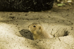 Gopher Peaking out of its Hole royalty free stock image