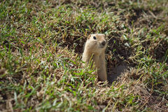 Gopher Peek-A-Boo. A gopher peeking out of a hole in a field Stock Image