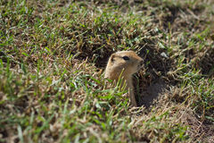 Gopher Peek-A-Boo. A gopher peeking out of a hole in a field Stock Images