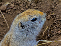 Gopher Portrait Stock Photography