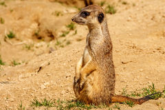 Merkat Stock Photography