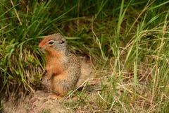 Gopher, ritratto dello scoiattolo a terra Fotografie Stock