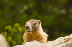 Gopher on rock Royalty Free Stock Photos