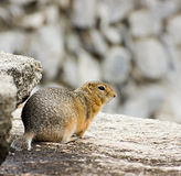 Gopher on the rock Stock Image