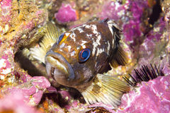 Gopher rockfish on reef Stock Photography