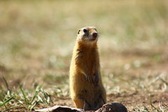 Gopher Royalty Free Stock Images