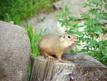 Gopher` s friends Royalty Free Stock Images