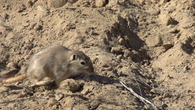 Gopher in Search of Food stock video footage