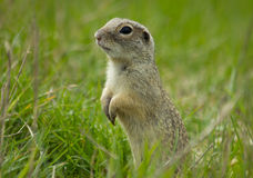 Gopher. Shy hiding in grass two feet royalty free stock image