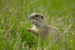 Gopher. Shy hiding in grass two feet stock image