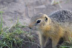 Gopher. In the Siberian forest Royalty Free Stock Images