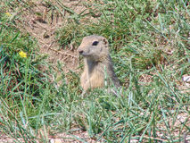 The gopher sits in a hole among a green grass Royalty Free Stock Image