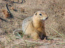 The gopher sits on sand and looks forward  Royalty Free Stock Photography