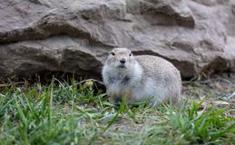 Gopher sitting alert and looking around Stock Photography