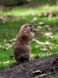 Gopher sitting alert and looking around Stock Images