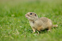 Gopher. Sitting in the grass and scanning the area stock photo