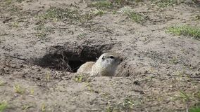Gopher sitting in a hole stock video