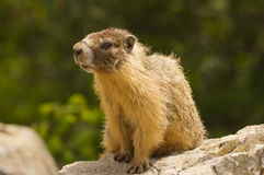 Gopher sitting on rock. A closeup of a brown gopher sitting on a rock royalty free stock photo