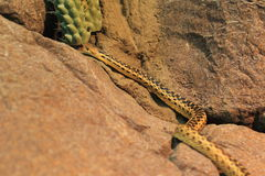 Gopher snake Stock Photos