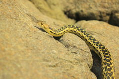 Gopher snake Stock Photography