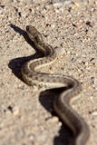 Gopher Snake crossing Alberta road. Canada Stock Photography