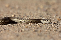 Gopher Snake crossing Alberta road. Canada Royalty Free Stock Images