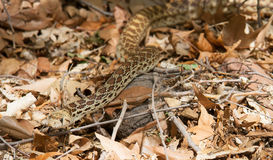 Gopher Snake. A large Sonoran Gopher snake making its way through the forest on a bed a dead fall leaves Royalty Free Stock Photos
