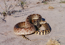 Gopher Snake (Pituophis catenifer) Stock Photo
