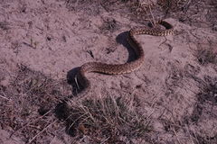 Gopher Snake (Pituophis catenifer) Royalty Free Stock Photo