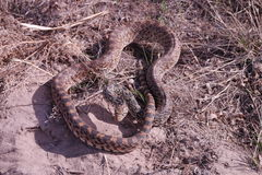 Gopher Snake (Pituophis catenifer) Stock Image