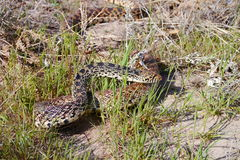 Gopher Snake (Pituophis catenifer) Royalty Free Stock Photos