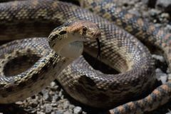 Gopher Snake Poised to Stike Stock Photo