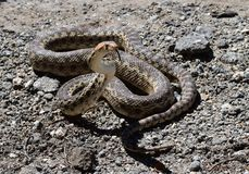Gopher Snake Poised to Stike stock photography