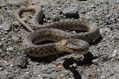 Gopher Snake Poised to Stike Royalty Free Stock Photos