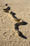 Gopher Snake On Road. Gopher snake pituophis catenifer sunning on a dirt road stock photos