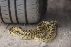 Gopher Snake under the wheel of a car Royalty Free Stock Photography