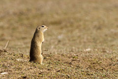 Gopher, Souslik, Ground Squirrel Royalty Free Stock Image