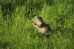 Gopher squeaking Royalty Free Stock Photos