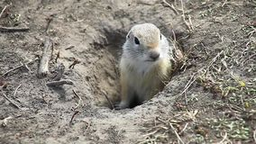 Gopher squeaking his tribe. Gopher squeaking hungry voice. Gopher squeaking his tribe stock video