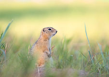 Gopher. Standing on the grass royalty free stock photo