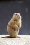 Gopher standing Stock Photos